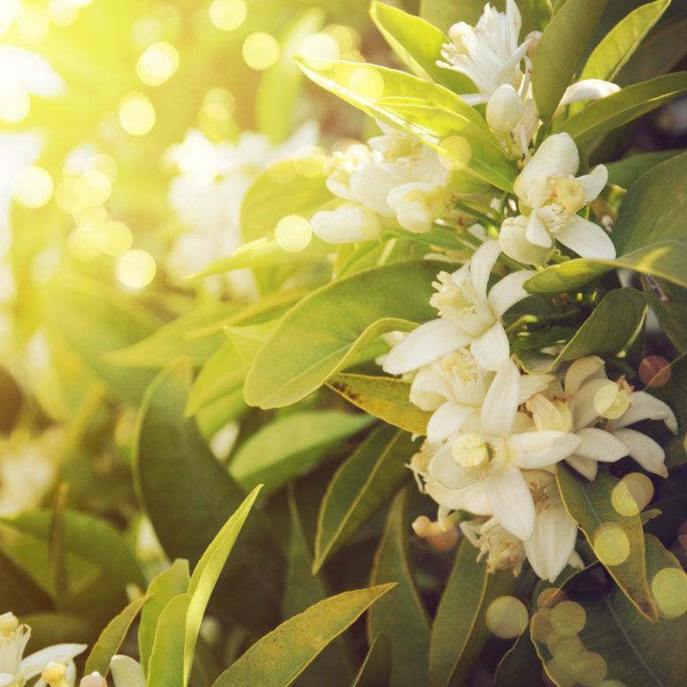 Neroli essential oil gell frres benefits mightylinksfo